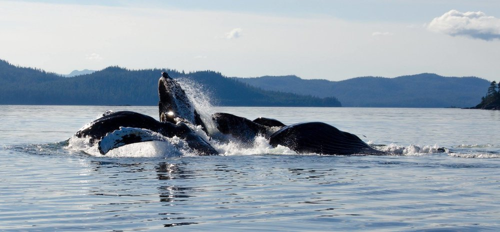 WATCHING HUMPBACK WHALES BUBBLEFEED IS ONE OF THE WILDLIFE BONUSES OF A VACATION ON PRINCE OF WALES ISLAND. IMAGE THANKS TO  WHALE POINT CABIN  , COFFMAN COVE, PRINCE OF WALES ISLAND, ALASKA