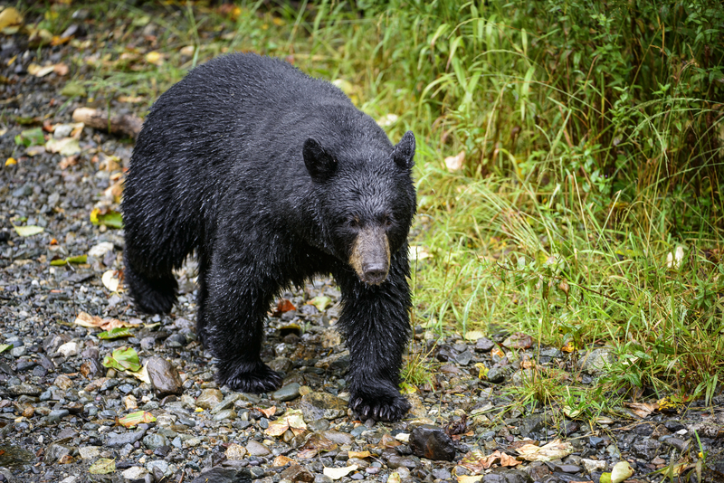 BEARS HAVE POOR SIGHT AND HEARING, YOU HAVE A GOOD CHANCE OF SPOTTING THEM BEFORE THEY SEE YOU. MAKE NOISE WHEN YOU ARE HIKING IN BEAR COUNTRY. SURPRISING A BEAR IS A VERY BAD IDEA. IMAGE:  ©JORN VANGOIDTSENHOVEN ⎮DREAMSTIME.COM