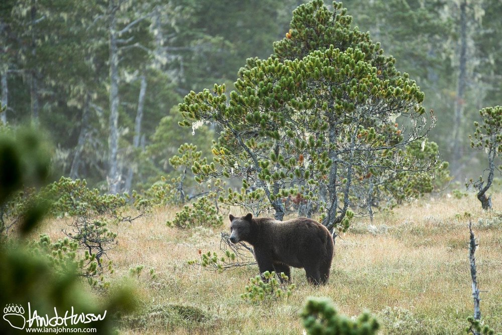 IF A BEAR NOTICES YOU, BACK AWAY, MAKE YOURSELF AS LARGE AS POSSIBLE. DO NOT RUN. IMAGE: IAN A JOHNSON