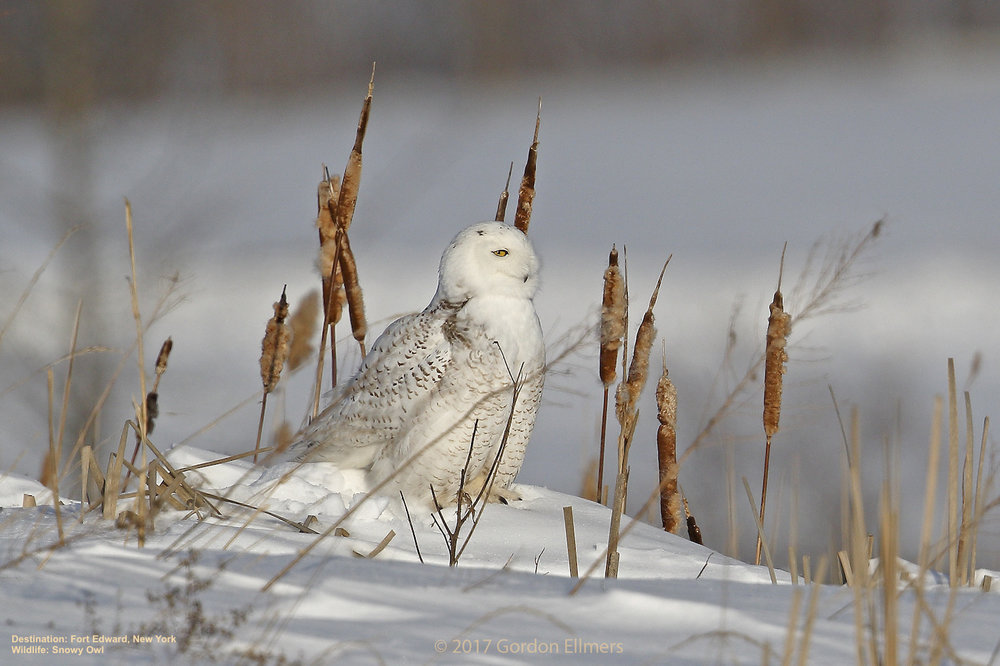 snowy owls winter in the preserved grasslands of fort edward, new york  Image: Gordon Ellmers.