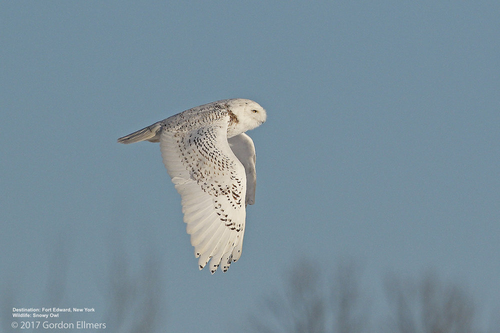 SNOWY OWL OVER THE WASHINGTON COUNTY GRASSLANDS, FORT EDWARD, NEW YORK  IMAGE: GORDON ELLMERS.