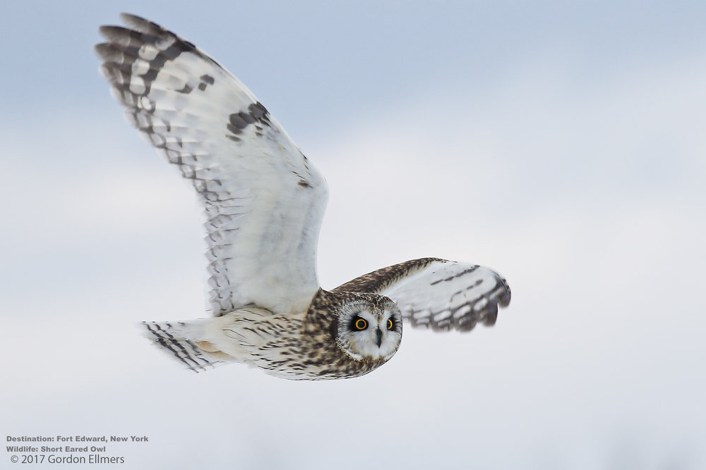 SHORT EARED OWL IS ACTUALLY QUITE PETIT, AT SLIGHTLY MORE THAN HALF THE SIZE OF A SNOWY. IMAGE: GORDON ELLMERS