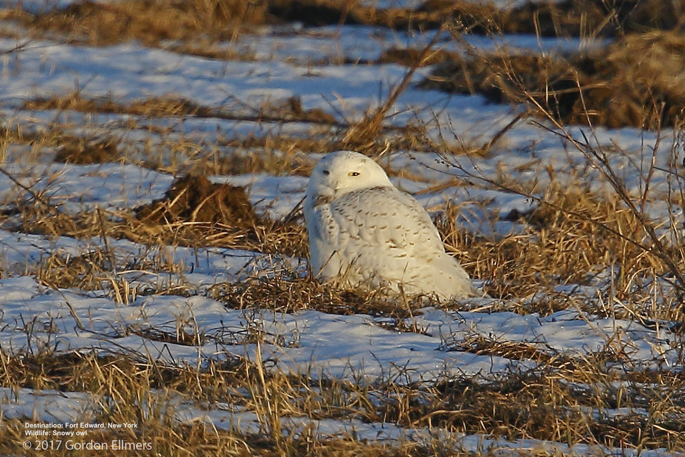 EARLY MORNING AND EARLY EVENING ARE WONDERFUL TIMES TO VIEW THE GREAT RAPTORS, LIKE THIS SNOWY OWL PUFFED UP AGAINST THE COLD. IMAGE: GORDON ELLMERS