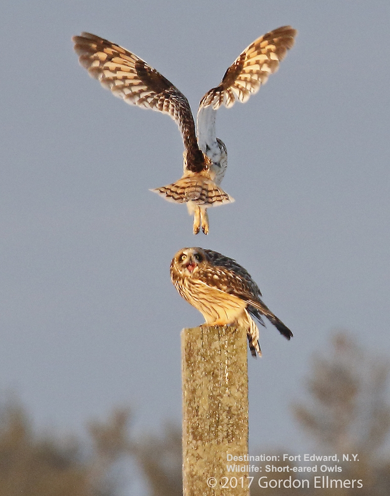 """SHORTIES"", UNLIKE ""SNOWIES"" WINTER IN GROUPS OF TWO TO TEN BIRDS. IMAGE: GORDON ELLMERS"