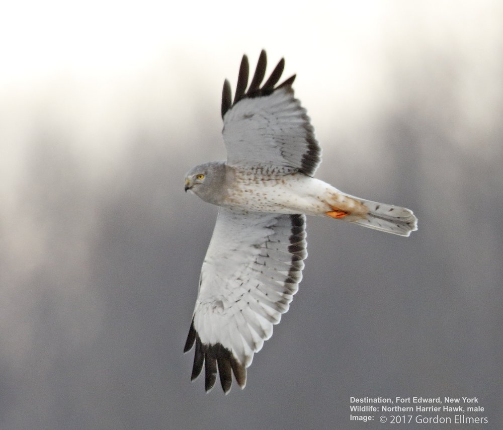 THE WASHINGTON COUNTY GRASSLANDS AT FORT EDWARD IS A WINTER REFUGE FOR MANY ENDANGERED BIRD SPECIES, THE NORTHERN HARRIER HAWK IS ONE. IMAGE: GORDON ELLMERS