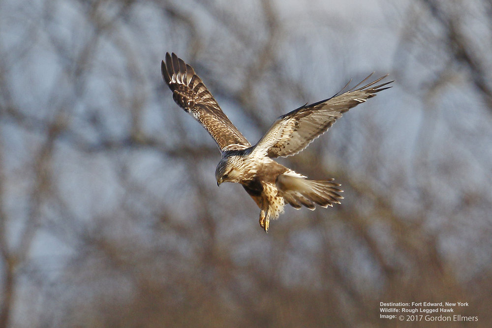 THE ROUGH LEGGED HAWK, ALSO A WINTER RESIDENT OF FORT EDWARD. IMAGE: GORDON ELLMERS