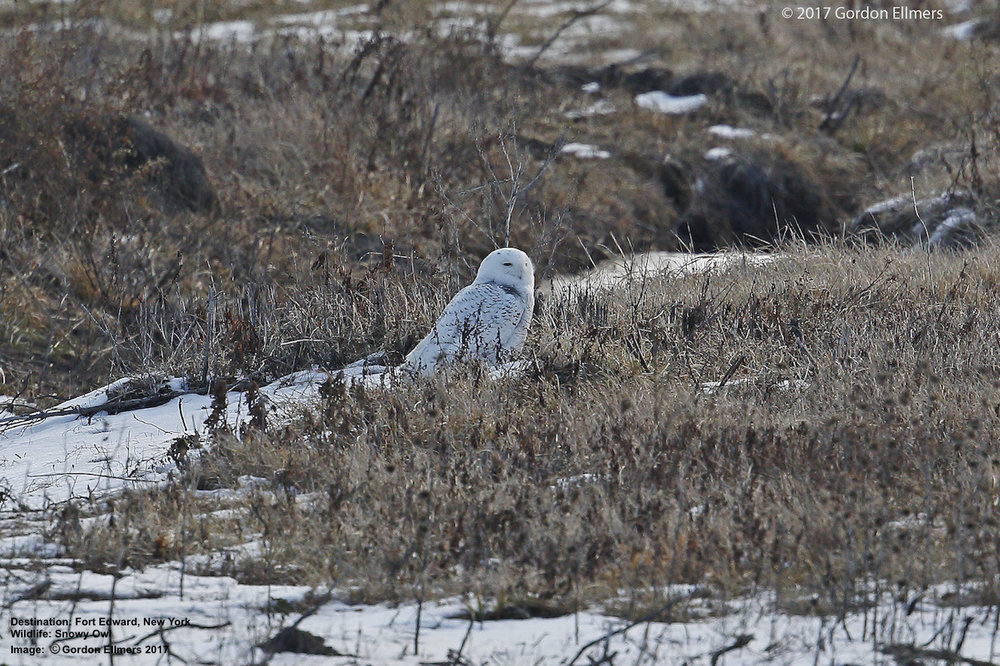 SNOWY OWLS WILL BE HEADING BACK TO THEIR ARCTIC BREEDING GROUNDS SOON. HEAD UP TO FORT EDWARD NOW, OR MAKE YOUR PLANS FOR NEXT YEAR. SEND US A NOTE.  WE WILL HELP YOU EXPERIENCE THESE WONDERFUL BIRDS IN THE MOST FUN AND RESPONSIBLE WAY. IMAGE: GORDON ELLMERS
