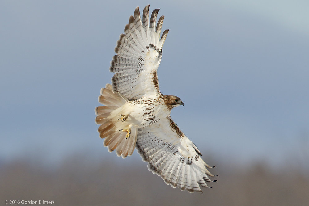 RED-TAILED HAWKS ARE ONE OF THE RAPTORS THAT WINTER IN AND HUNT THE SAME FORT EDWARD FIELDS AS THE OWLS. IMAGE: GORDON ELLMERS
