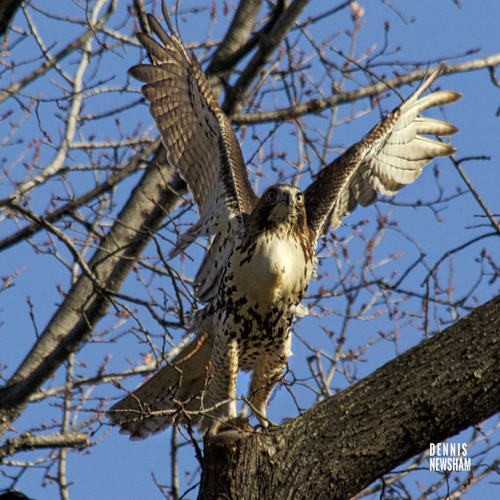 RED-TAILED HAWKS ARE ALL YEAR RESIDENTS IN CENTRAL PARK. IMAGE: THANKS TO DENNIS NEWSHAM