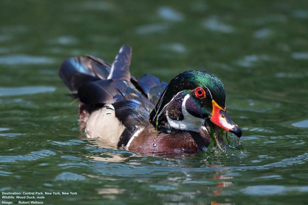 Wood Duck, male, Central Park Image: Robert Wallace