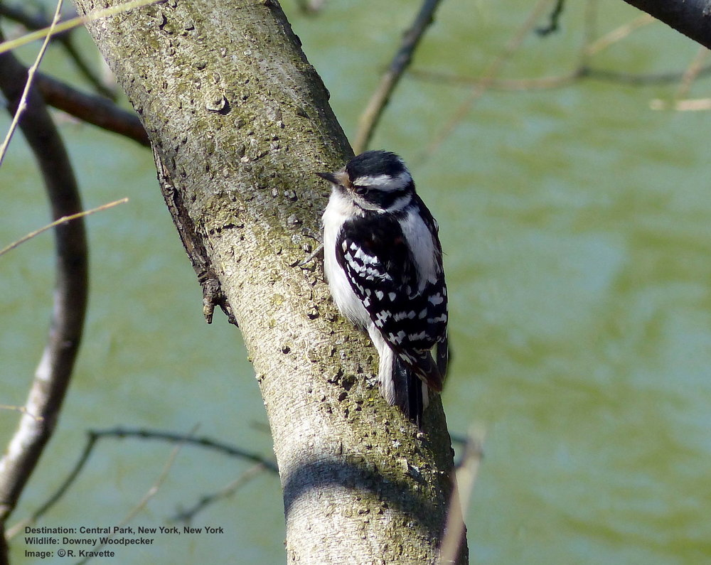 Downey Woodpecker in Central Park. Image: R.Kravette