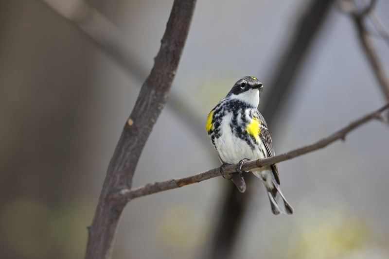 Yellow Rumped Warbler, Central Park. Image: ©Stubblefieldphoto⎮DREAMSTIME.COM