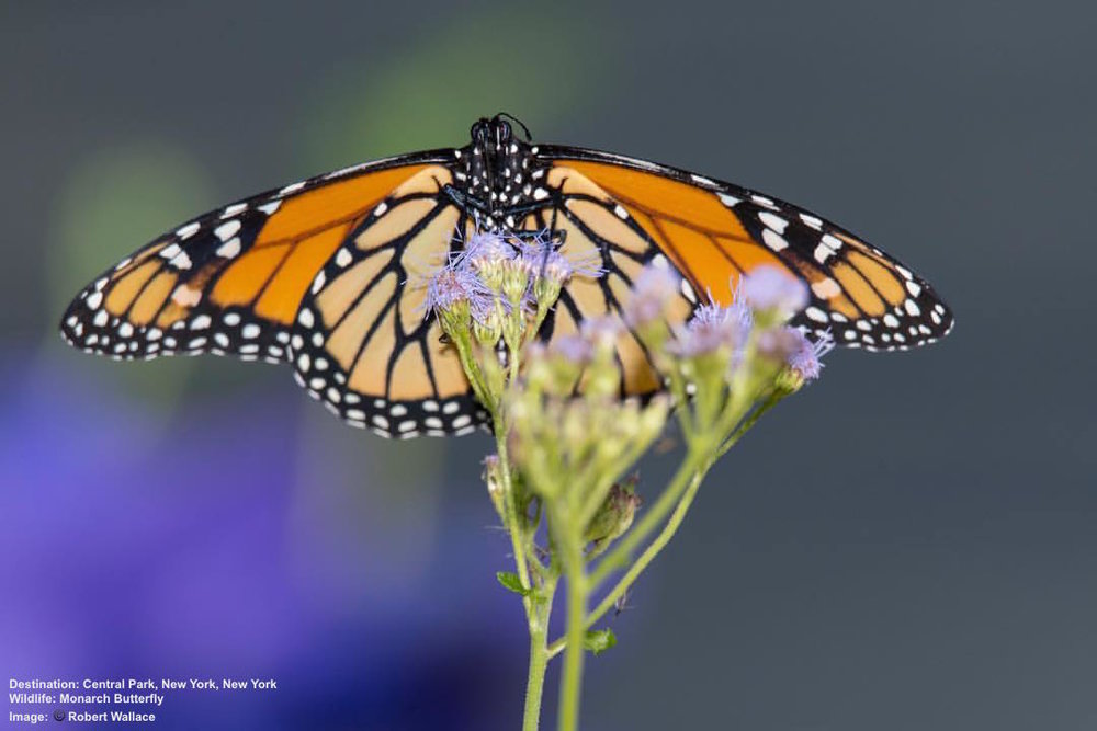 OK, IT'S A MONARCH BUTTERFLY IN CENTRAL PARK, I JUST COULDN'T RESIST! IMAGE: COURTESY OF ©ROBERT WALLACE