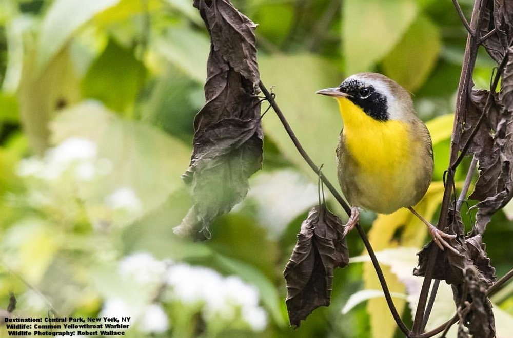 ONE OF MY FAVORITES, COMMON YELLOW THROAT WARBLERS LOOK LIKE LITTLE BANDITS. THEY WINTER IN MEXICO, PUERTO RICO AND CUBA.  IMAGE: COURTESY OF Robert Wallace Photo