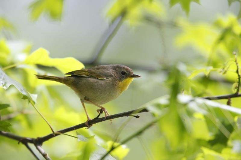 Common Yellow Throat Warbler, Central Park. Image: ©Stubblefieldphoto⎮DREAMSTIME.COM
