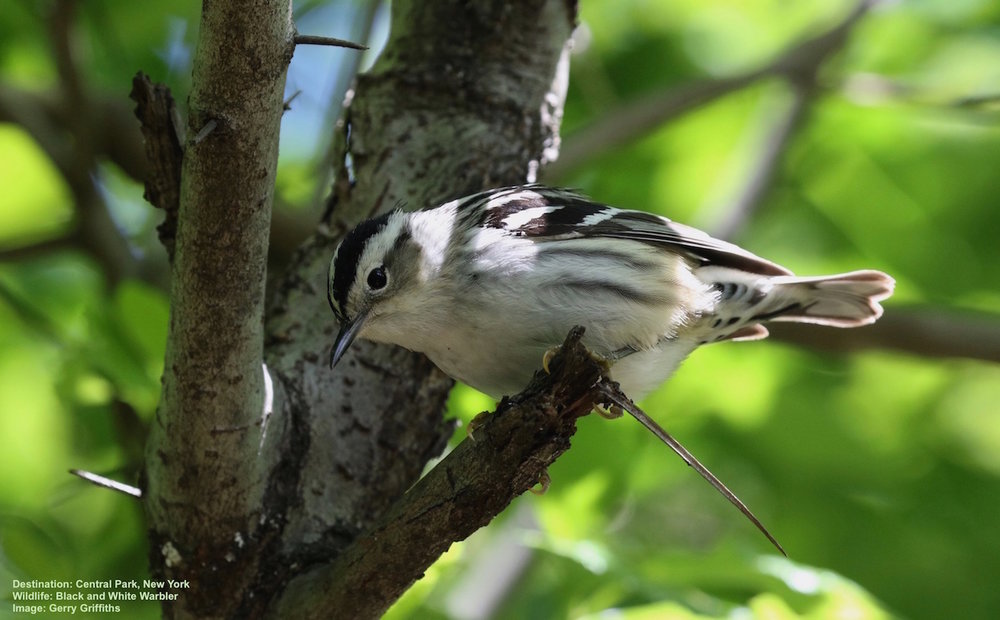 BLACK & WHITE WARBLERS, LIKE THIS ONE, WINTER AS FAR SOUTH AS PERU, MORE THAN 3100 MILES (5000 KM) FROM THIS REST SPOT IN CENTRAL PARK. IT WILL CONTINUE NORTH FOLLOWING NEW YORK'S HUDSON RIVER VALLEY. IMAGE THANKS TO GERALD GRIFFITHS OF AVIAN ADVENTURES