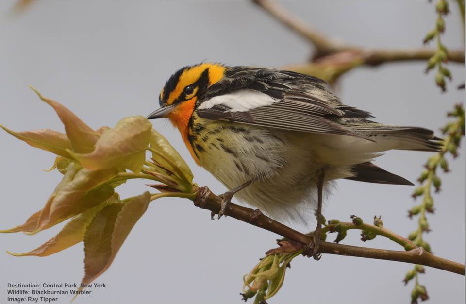 THIS BLACKBURNIAN WARBLER RESTING IN CENTRAL PARK, NEW YORK MAY HAVE ALREADY FLOWN FROM AS FAR AS BOLIVIA, SOUTH AMERICA 3990 MILES (6400 KM) AND HE STILL HAS FURTHER TO GO.  IMAGE: THANKS TO RAY TIPPER AND AVIAN ADVENTURES.