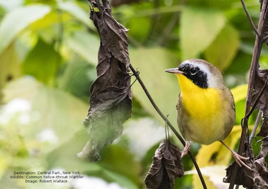 Yellow-throat-warbler-Central-Park-New-York-Robert-Wallace.jpeg