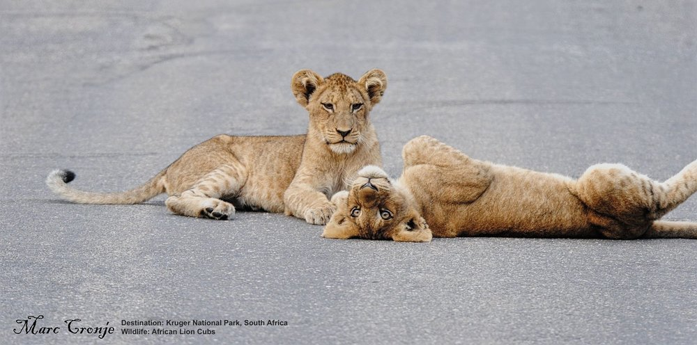 LIONS RAISED IN THE WILD WITHOUT PHYSICAL HUMAN CONTACT, LIKE THESE ADORABLE WILD CUBS CHECKING OUT MARC'S SAFARI VEHICLE FROM THEIR VANTAGE POINT IN THE MIDDLE OF THE ROAD, WILL RARELY BOTHER EVEN OPEN SAFARI VEHICLES. FOLLOW THE RULES, LISTEN TO YOUR GUIDE'S INSTRUCTIONS, AND STAY AWAY FROM PARKS OR ATTRACTIONS THAT ENCOURAGE CONTACT BETWEEN WILDLIFE AND YOU. IMAGE: THANKS TO MARC CRONJE, INDEPENDENT FIELD GUIDE.