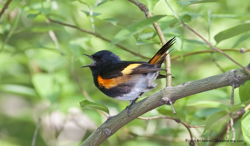 THE AMERICAN REDSTART WINTERS IN CENTRAL AMERICA, COLUMBIA, AND VENEZUELA AND  IS ONE OF THOUSANDS OF WARBLERS THAT MIGRATE TO NEW YORK'S CENTRAL PARK IN SPRING. IMAGE: © JOHN ANDERSON⎮DREAMSTIME.COM