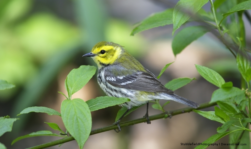 A BLACKTHROATED GREEN WARBLER RESTS IN CENTRAL PARK. THEY FLY IN FROM CUBA, PUERTO RICO, CENTRAL AMARICA AND NORTH-WESTERN COLUMBIA AND VENEZUELA. IMAGE:  ©STUBBLEFIELDPHOTO ⎮DREAMSTIME.COM