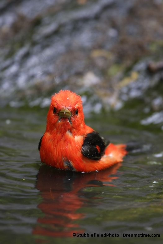 DO NOT DISTURB THE BIRDS! LIKE THIS SCARLET TANGER (COLUMBIA, EQUADOR, PURU & BOLIVIA) BATHING IN THE RAMBLE AFTER HIS FLIGHT . IMAGE: ©STUBBLEFIELDPHOTO ⎮DREAMSTIME.COM