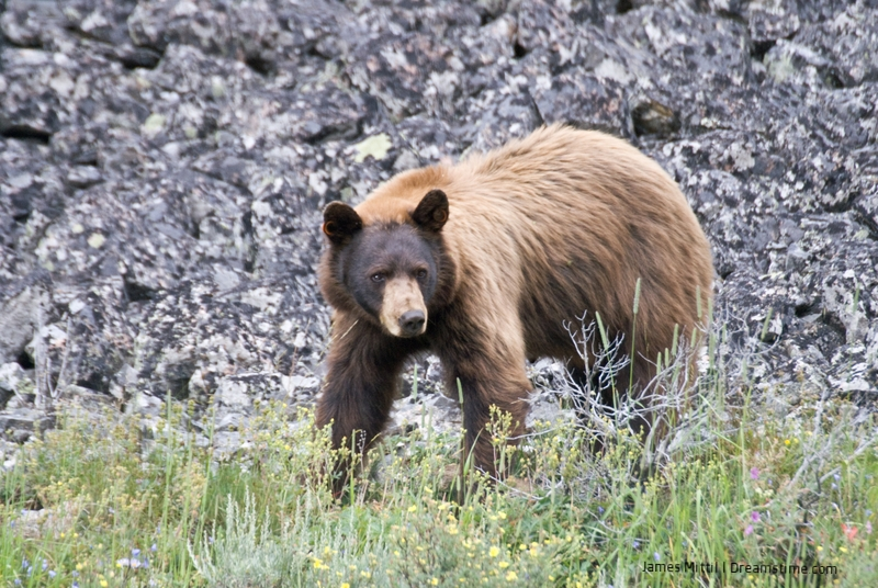 CINNAMON COLORED BLACK BEARS ARE FOUND IN OPEN MEADOWS THROUGHOUT THE WESTERN STATES. IMAGE:  ©James Mattil⎮ DREAMSTIME.COM