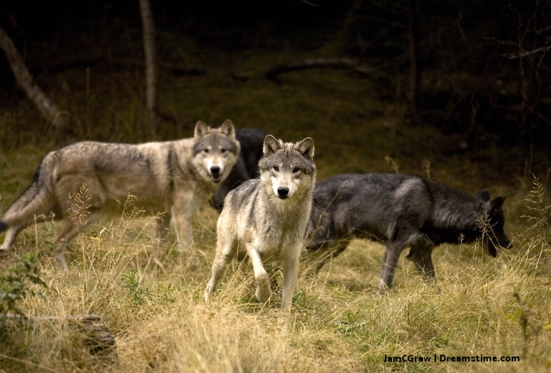 One of the greatest wildlife adventures on the planet: Wolf spotting. From the Himalayas, to the Arctic, to the lowlands of Brazil - and just about every where in-between, the elusive wolf is everywhere - and no where. There is something about these animals - They are not just dogs in wolf clothing!  IMage: © JAMCGRAW ⎮DREAMSTIME.COM  denali national park, alaska