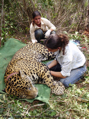 COLLARING A JAGUAR NEAR EMAS NATIONAL PARK IMAGE: JAGUAR CONSERVATION FUND.