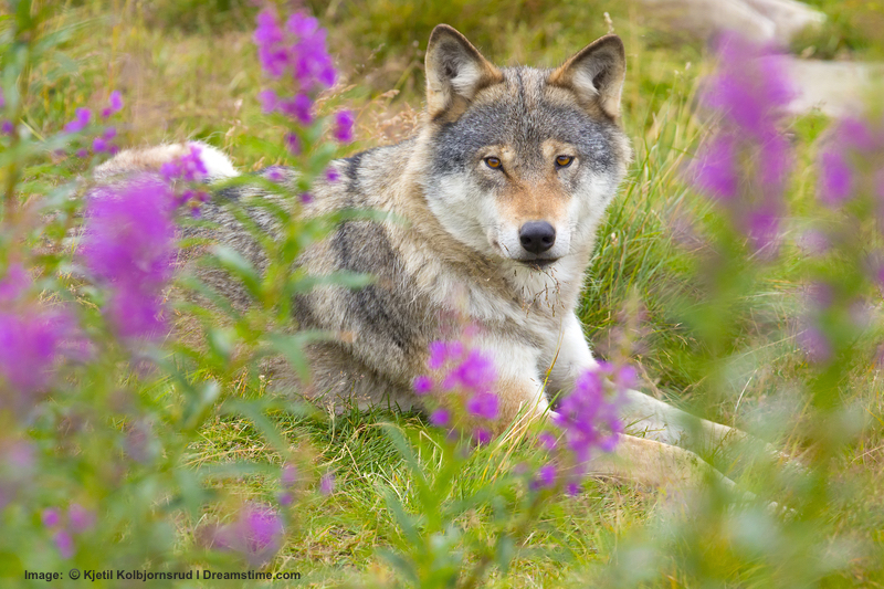 Wolf populations have returned to all of the Scandinavian countries: Norway, Finland, Sweden and in 2012 wild wolves (all male) were confirmed in northern Denmark. those males got good news in 2014 - the females had arrived!    Image: ©kjetil Kolbjornsrud⎮Dreamstime.com