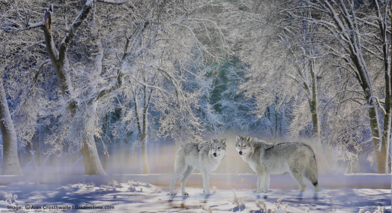 "WINTER IS THE BEST TIME TO SEE WOLVES IN YELLOWSTONE. IT IS VERY COLD, BUT THERE IS MAGIC IN THE SNOWY LANDSCAPE AND CRYSTAL COVERED TREES. THIS IS A ""DON'T MISS"" EXPERIENCE.  ©Alancrosthwaite⎮Dreamstimes.com"