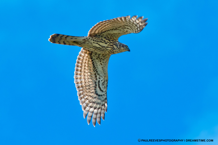 Northern Goshawk - large, fierce, & secretive.  Image:  ®Paulreevesphotography⎮Dreamstime.com