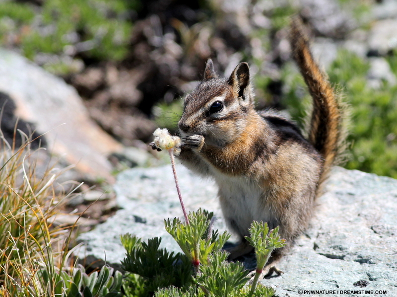 Stop-Look-listen. Even adults will be amazed at the usually un-noticed life all around like this yellow pine chipmunk lunching on seeds. Give yourself, and your kids, a treat. Take a pause. Image:  ©PNWNature⎮Dreamstime.com