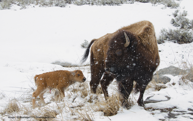 Our new national mammal, the bison, weathering a storm at Yellowstone National Park. Image: ©Birdiegal717⎮Dreamstime.com