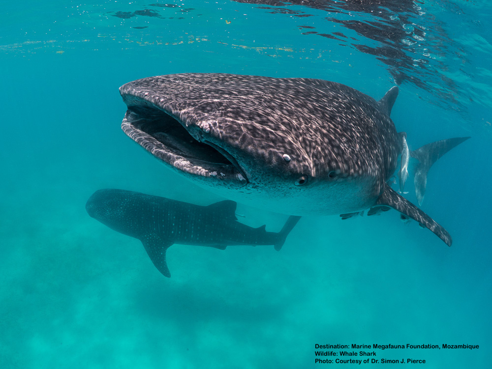 When in Mozambique, visit the  Marine Megafauna Foundation  based at Tofu. Marine biologist Dr. Simon J. Pierce, Lead Whale Shark Researcher, is usually on hand to talk about these great fish - and also may be convinced to impart a couple of tips on scoring the best underwater images. Dr. Pierce is a fabulous marine photographer too! Image: Courtesy of Dr. Simon J. Pierce