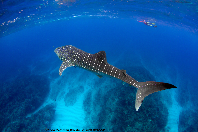 Australia's Ningaloo Reef was declared a UNESCO Heritage site in 2009 for good reason.  Be prepared to fall in love  with its incredible sea and land scapes and fabulous biodiversity - including, of course - whale sharks! Image:  ©Violeta Jahnel Brosig⎮Dreamstime.com