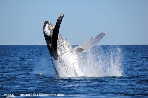 Humpback whales make their way to Australia's east coast right about the same time as the whale sharks arrive. Enjoy them right from the boat. Image:  Bruce5339 Dreamstime.com