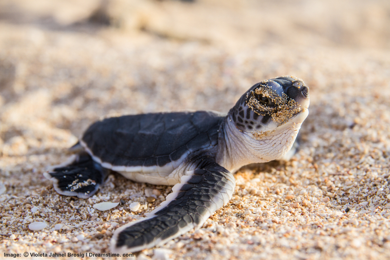 Green sea turtles,loggerhead and hawksbill turtles nest here November to April. Australia's Dept. of Parks and Wildlife suggests Jurabai Turtle center for a guided (responsible) experience. Image: ©Violeta Jahnel Briog⎮Dreamstime.com