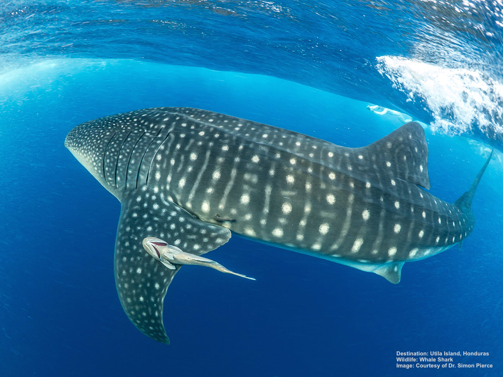 Utila Island, Honduras is famous for its whale sharks. Looking for a deeper experience in Utila? Volunteer or intern with the Whale Shark and Oceanic Research Center. Image: Thanks to  Simon J. Pierce PhD , marine biologist and photographer.