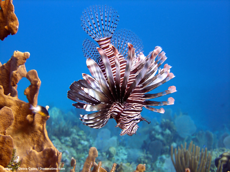 Utila Island, Honduras. beautiful but deadly, Invasive lion Fish are a big problem for coral reefs. Spear fishing for them is an encouraged activity. Image:  ©Debycoles⎮Dreamstime.com