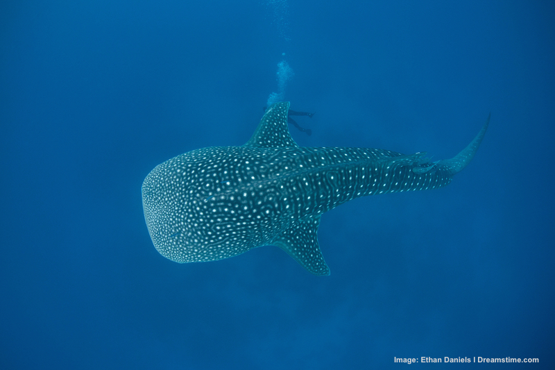 A whale shark in deep water off the coast of Belize. Note the diver is well away from the fish. Image:  ©Ethan A Danels⎮Dreamstime.com
