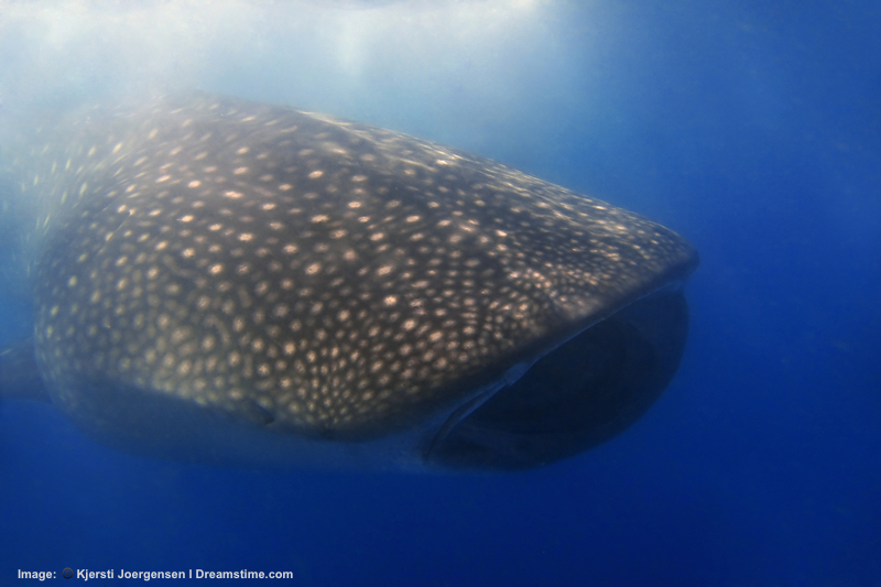 At Donsol Bay, where they used to be actively hunted, whale sharks can relax and cruise for krill - which is exactly what this big guy is doing. the murkey water is a sign (in this case) of the microscopic organisms that whale sharks feed on. Image:  ©Kjorgen⎮Dreamstime.com