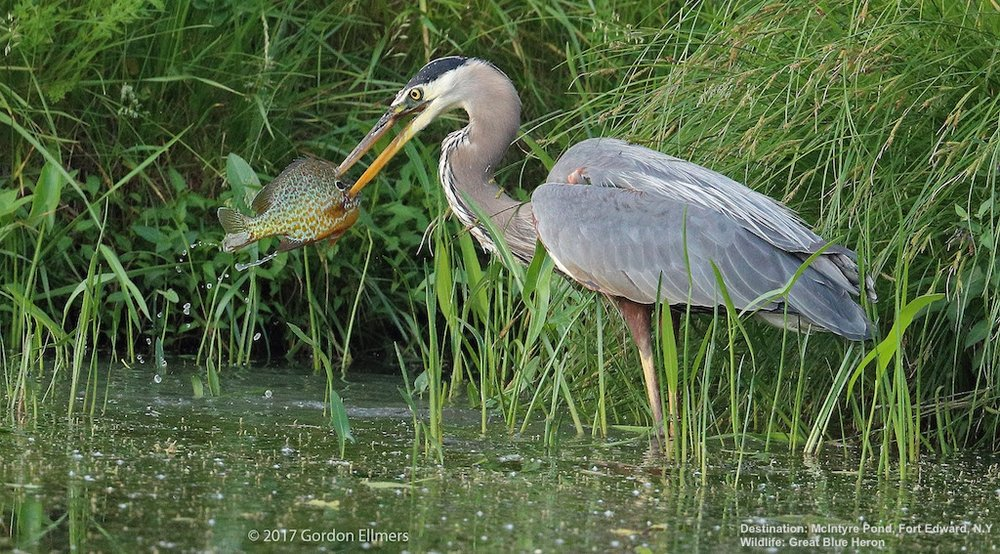 ONE OF EVERY $100 OF ALL GOODS AND SERVICES PRODUCED IN THE U.S. COMES FROM WILDLIFE RECREATION, INCLUDING WATCHING A GREAT BLUE HERON FISH. IMAGE: THANKS TO GORDON ELLMERS.