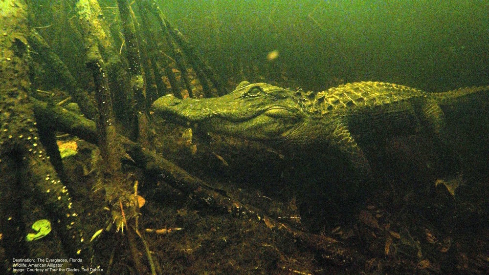 EVEN WHEN YOU DO NOT SEE THEM, THEY SEE YOU. AMERICAN ALLIGATOR AMONG THE MANGROVES, WESTERN EVERGLADES, FLORIDA. IMAGE: COURTESY OF TOD DAHLKE AND TOUR THE GLADES.