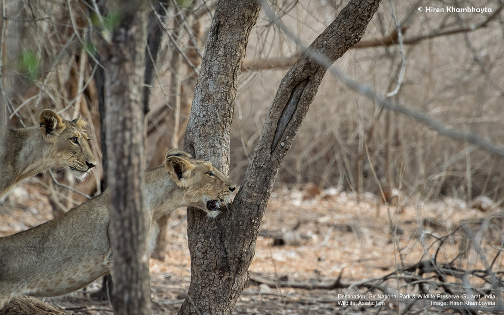 THE DRY SEASON IN GIR MEANS LESS FOLIAGE AND A BETTER OPPORTUNITY TO SEE THE ELUSIVE ASIATIC LIONS  IMAGE: HIREN KHAMBHAYTA