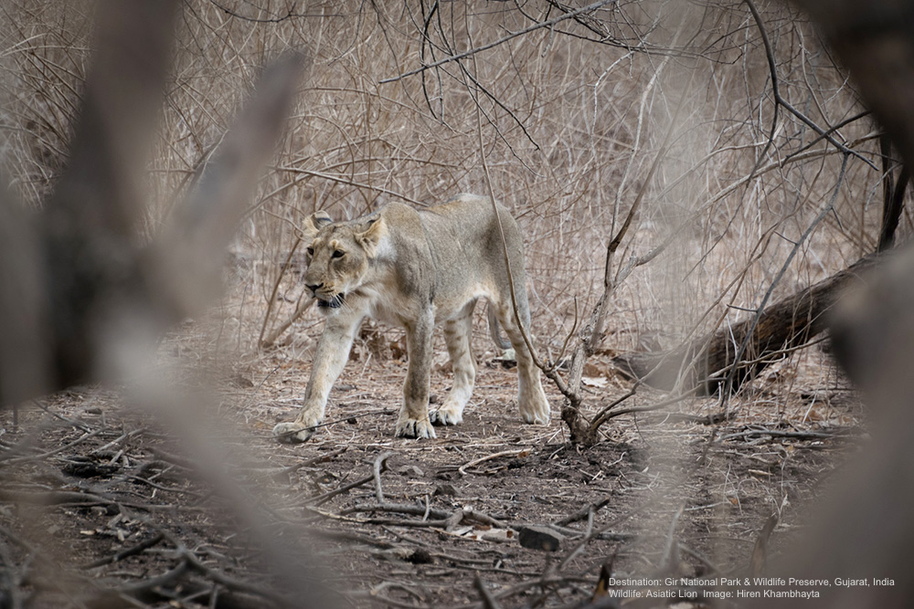 ALTHOUGH ASIATIC LIONS ARE 10-20% SMALLER THAN THEIR AFRICAN COUSINS, THESE CATS ARE STILL FORMIDABLE HUNTERS BRINGING DOWN DEER, ANTELOPE, WILD BOAR AND THE OCCASIONAL WILD BUFFALO. IMAGE: HIREN KHAMBHAYTA