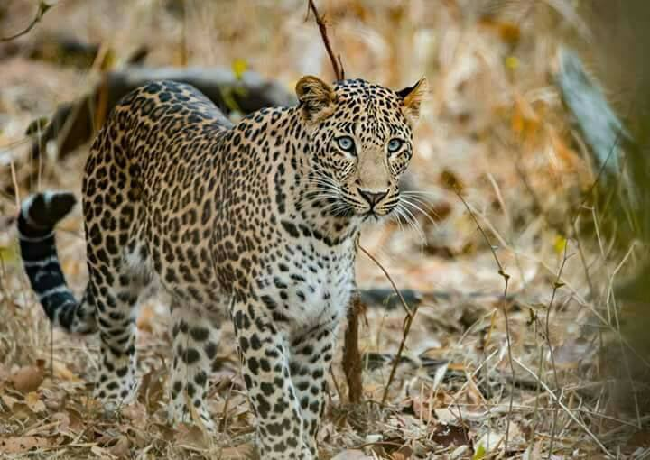 INDIA IS HOME TO THREE ENDANGERED BIG CAT SPECIES: ASIATIC LION, BEGAL TIGER, and SNOW LEOPARD AND TWO VULNERABLE BIG CATS: CLOUDED LEOPARD AND INDIAN LEOPARD (above). LOCALS, ORGANIZATIONS AND THE GOVERNMENTAL GROUPS ARE ALL TAKING STEPS TO PROTECT THESE SPECIES. IMAGE: Thanks to Gir National Park