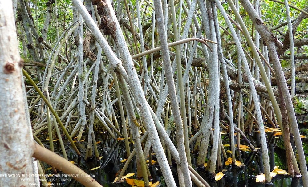 A TANGLE OF MANGROVE ROOTS. LOOK CLOSELY, CAN YOU FIND THE (INVASIVE) BROWN LIZARD MAKING HIS WAY DOWN THE MANGROVE ? IMAGE. R. KRAVETTE