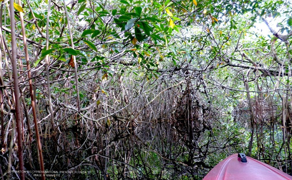 KAYAKING THROUGH THE MANGROVE TUNNELS IN BIG CYPRESS NATIONAL PRESERVE IN FLORIDA'S WESTERN MOST EVERGLADES. IMAGE. R. KRAVETTE