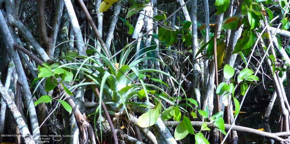 AIR PLANTS GROW WILD AND BEAUTIFUL IN BIG CYPRESS NATIONAL PRESERVES' TANGLED MANGROVE FOREST.  IMAGE. R. KRAVETTE